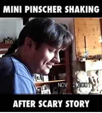 This Miniature Pinscher is so scared of the story he's shaking😂👻: MINI PINSCHER SHAKING  NOV 22001  AFTER SCARY STORY This Miniature Pinscher is so scared of the story he's shaking😂👻