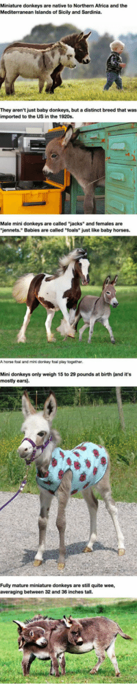 """Africa, Donkey, and Horses: Miniature donkeys are native to Northern Africa and the  Mediterranean Islands of Sicily and Sardinia.  They aren't just baby donkeys, but a distinct breed that was  imported to the US in the 1920s.  Male mini donkeys are called """"jacks"""" and females are  """"jennets."""" Babies are called """"foals"""" just like baby horses.  A horse foal and mini donkey foal play together  Mini donkeys only weigh 15 to 29 pounds at birth (and it's  mostly ears)  Fully mature miniature donkeys are still quite wee,  averaging between 32 and 36 inches tall <p>Mini Donkeys Are The Perfect Pets.</p>"""