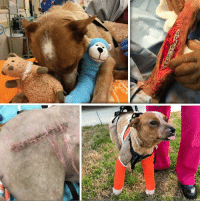 Journey, Love, and Memes: MINNIE PEARL is still in Hospital.  Please, Help Us, Help Her by DONATING.  http://www.noahs-arks.net/animal/view/minnie-pearl-red-heeler/847#.WKW3PBiZO8U  Sweet Minnie Pearl has certainly had a hard time of it.   We have completed all of her surgeries, but she does not want to use one of her rear legs.   We are hopeful that extensive Rehab will restore some of her range of motion but right now, her leg hurts, and she does not want any part of anyone moving it.  We repaired the leg along with the others with the best case scenario being she will use the leg and eventually get her full-range of motion.  If she does not use the leg after extensive care to restore the function of the leg, we will be forced to consider amputation.    The problems we have had to deal with far more times than we like is when the leg becomes a neurological issue.  The leg does not function the way it should, and because of neurological damage and tingling, the animal eventually tries to remove their leg by chewing it off.  At that point, we have no choice but to remove the leg.  We are a long way from that happening, but I feel compelled to let everyone know this in case Minnie Pearl begins doing this.   The good news is that she is getting around on her other legs and if we do have to amputate she will be an incredible tripod.     Minnie Pearl is a wonderful pup that has had unimaginable damage done to her body.   She was in incredible pain for quite a while before we were able to get her stable and do her surgery.    We are glad she made it to us because I know there is no one else out there that would have done all of the surgeries that she needed and keep her in ICU the entire time.  She is doing well because of all the constant Medical Care she has received.  Minnie Pearl's Medical bills are ongoing and will be for the next two months.  We are already close to $15,000. for her care.  Please, DONATE whatever you can so we can get her bills down and keep supply