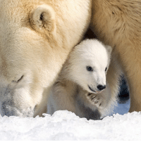 "Mishka, a three-and-a-half month old polar bear cub, is pictured with her mother Liya at the Sea World theme park on Queensland's Gold Coast, Australia. The cub was named following an online poll. Mishka is Inuit for ""little bear"" and was one of four options put forward by the theme park. PHOTO: EPA-SEA WORLD-RENEE NULL BBCSnapshot photography polarbear Queensland Miska SeaWorld: Mishka, a three-and-a-half month old polar bear cub, is pictured with her mother Liya at the Sea World theme park on Queensland's Gold Coast, Australia. The cub was named following an online poll. Mishka is Inuit for ""little bear"" and was one of four options put forward by the theme park. PHOTO: EPA-SEA WORLD-RENEE NULL BBCSnapshot photography polarbear Queensland Miska SeaWorld"
