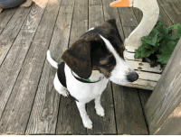 Dog, Missing, and Dog In: Missing Dog in Gastonia, NC