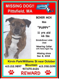Missing Dog Pittsfield Ma Boxer Mix Male Puppy 11 Yrs Old 46 Lbs