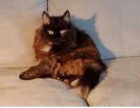 Friday, Memes, and Information: **MISSING IN LAPEER**  *Senior Alert*  This is Skylar, a 20 year old female DLH, that went missing Friday (9/8/17) and was last seen in River Ridge Park.  Skylar currently has a lion cut with a white puff at end of tail.  If you have seen Skylar or have any information please call 989-476-0333.  Please share to spread the word!