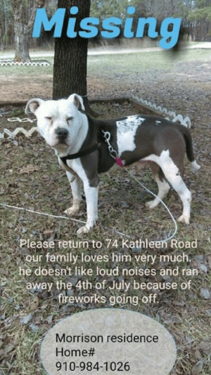 Family, Memes, and Precious: Missing  Please return to 74 Kathleen Road  our family loves him very much.  he doesn't like loud noises and ran  away the 4th of July because of  freworks going of.  Morrison residence  Home #  910-984-1026 ANDERSON CREEK, NC (HARNETT CO.)-- LOST DOG  Please help us find our precious baby, We live Near Anderson Creek North Carolina. He's a sweet dog will go to anyone. Gets very excited and loves attention.