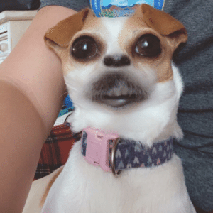 Mix a Snapchat filter with a cute dog and you'll get...this: Mix a Snapchat filter with a cute dog and you'll get...this