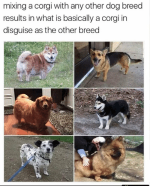 Corgi, Tumblr, and Blog: mixing a corgi with any other dog breed  results in what is basically a corgi in  disguise as the other breed memecage:Good dogo..