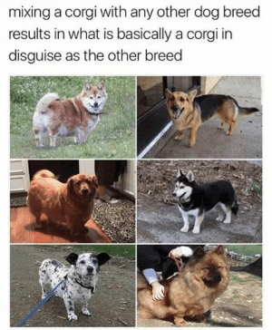 Dog Memes Of The Day 32 Pics – Ep50 #animalmemes #dogmemes #memes - Lovely Animals World: mixing a corgi with any other dog breed  results in what is basically a corgi in  disguise as the other breed Dog Memes Of The Day 32 Pics – Ep50 #animalmemes #dogmemes #memes - Lovely Animals World