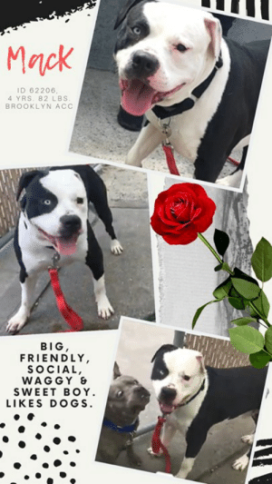"Being Alone, Apparently, and Children: Mnck  ID 62206,  4 YRS, 82 LBS  BROOKLYN ACC  BIG,  FRIENDLY,  SOCIAL,  WAG GY &  SWEET BOY  LIKES DOGS. TO BE KILLED – 5/16/2019  Big, friendly, waggy and sweet, MacK was found wandering, scared and alone in the streets of NYC. He may be a big boy, but at that moment he was just a lost little boy on the inside. Dragged into the shelter by police via a rabies pole, his arrival at the care center was nothing short of terrifying. We can't blame him for his anxiety and confusion. But with a few days behind him, he has warmed up nicely to some of his favorite staff members and is a real heartbreaker, soft and attention seeking and a lover of treats. What a stunner too! His one magnificent icy blue eye, the other a warm brown, and his size – he's 82 lbs of cookies and cream. He loves treats, he enjoys his time in playgroup with his girlfriends (like Sassy for example) and he is so stoic and patient, even when they jump all over him. He understands the meaning of ""gentleman"" and takes it all in stride. MacK truly needs a loving family, an experienced foster or adopter in an adult only home where he can decompress, relax, open his heart to his new family and feel safe and loved. Will you be the one to make his dream of a family come true? Message our page or email us at MustLoveDogsNYC@gmail.com for assistance fostering or adopting treat loving, heart stealing MacK now!  MY MOVIE! I make friends with Sassy, she's great! https://youtu.be/_OqIuCf0X2g  ZEUS, ID# 62206, 4 Yrs. Old, 82 lbs, Unaltered Male Brooklyn ACC, Large Mixed Breed, White / Black I came to the shelter as an Agency, 5/7/2019 Shelter Assessment Rating: NEW HOPE ONLY  Medical Behavior Rating: 4. Orange  AT RISK NOTE: Although MacK has shown improvement with certain handlers in the care center, he has not acclimated well to the kennel environment and has allowed only minimal handling since intake. We recommend placement with a New Hope partner who can provide any necessary behavior modification (force-free, positive reinforcement-based) and re-evaluate behavior in a stable home environment before placement into a permanent home. Mack was also diagnosed with CIRDC and would have to stay away from other dogs for the next 14 days after diagnosed.  INTAKE BEHAVIOR – DATE OF INTAKE, 5/7/2019: Mack was snapping, growling and lunging when being taken out of the crate. No handling was done.  SURRENDER NOTES – BASIC INFORMATION: Mack is a large white and black dog that was found loose in the street and was brought to the ACC as a stray.  SHELTER ASSESSMENT SUMMARIES   Leash Walking  Strength and pulling: Hard pulling  Reactivity to humans: None  Reactivity to dogs: None  Leash walking comments:   Sociability  Loose in room (15-20 seconds): Soft body, tail wagging, ears forward, explores somewhat, jumps up soliciting attention, stays near handlers, readily accepts treats with soft mouth  Call over: Does not approach immediately Sociability comments: Mack was observed to walk toward assessor and sniffed the outstretched hand, tensed his body and low growled toward the assessor. In order to minimize Mack's stress levels, the assessment was concluded.   PLAYGROUP NOTES – DOG TO DOG SUMMARIES: Mack was surrendered as a stray so his past behavior around dogs is unknown.   5/8: When off leash at the Care Center, Mack is introduced to a novel female dog. He is sexually motivated as he greets the female and places his chin over her back. Mack positions himself to mount the female but is interrupted by handlers. Mack walks away to explore the pens.   5/9: Mack was introduced to a novel female again today. He greets her with a soft body and wanders around the yard. He does give the female one quick bounce when she solicits play but does not reciprocate otherwise.  Summary (1):: Mack understands the cue for ""sit"".   INTAKE BEHAVIOR – DATE OF INTAKE: 5/7/2019 Summary:: Baring teeth, growling, lunging and snapping; No handling performed  MEDICAL BEHAVIOR - Date of initial:: 5/8/2019 Summary:: Initially hyperactive, allowed muzzle, escalated to hard stare, growling and head whipping  ENERGY LEVEL:: MacK has been observed to exhibit a medium level of energy during his interactions in the care center.  IN SHELTER OBSERVATIONS:: 5/10: Mack was laying in his kennel as handler approached. When handler removed the blocker and Mack noticed her, he stood and gave tail wags. As handler unlocked his kennel, She offered Mack a treat, which he took gently. Mack was easily removed from the kennel and walked out with a loose body, showing no reactivity to the barking dogs as he passed them. Once outside, mack relieved himself at the gate and was brought back inside for his interaction. After his interaction was over, Mack walked back to his kennel with the handler, returning to a loose body and showing no reactivity to passing staff members. Mack allowed the handler to pet his head and back on his way back to his kennel, giving tail wags the whole way. Mack was returned to his kennel without any issues. 5/12: Mack allowed very exuberant handling while maintaining a wiggly body.  BEHAVIOR DETERMINATION:: New Hope Only Behavior Asilomar: TM - Treatable-Manageable  Recommendations:: No children (under 13),Place with a New Hope partner Recommendations comments:: No children (under 13): Due to how uncomfortable MacK is currently with touch and novel stimuli, we feel that an adult-only home would be most beneficial at this time. Place with a New Hope partner: Although MacK has shown improvement with certain handlers in the care center, he has not acclimated well to the kennel environment and has allowed only minimal handling since intake. We recommend placement with a New Hope partner who can provide any necessary behavior modification (force-free, positive reinforcement-based) and re-evaluate behavior in a stable home environment before placement into a permanent home.   Potential challenges: : Handling/touch sensitivity,Fearful/potential for defensive aggression,Kennel presence Potential challenges comments:: Handling/touch sensitivity: MacK displays handling sensitivity during his interactions in the care center, observed on multiple occasions. MacK has been observed to escalate to baring his teeth, growling, lunging and snapping toward handlers when attempting to handling him. Please refer to the handout on Handling/touch sensitivity. Fearful/potential for defensive aggression: MacK is very fearful at the care center and has bared teeth, growled, lunged and snapped at handlers when attempts are made to approach him and touch him. He will need a slow approach and time to acclimate to new people. Please see handout on Fearful/potential for defensive aggression. Kennel presence: MacK exhibits kennel presence and has been observed to growl when new people approach his kennel door. Should this behavior arise in a home environment, please refer to the handout on Kennel presence.  MEDICAL EXAM NOTES  8/05/2019 DVM Intake Estimated age: 4 years Microchip noted on Intake? No Microchip Number (If Applicable): History: Stray Subjective: BARH, no coughing/sneezing/vomiting/diarrhea Observed behavior: Initially hyperactive but allowed muzzle, escalated quickly to hard stare and growling/whipping head around when exam was performed. Evidence of cruelty seen: No Evidence of trauma seen: No Objective: P: WNL R: WNL BCS: 6/9 OP: Mucous membranes pink and moist. Muzzled. EENT: Eyes, ears, and nares clear bilaterally, no discharge noted. PLN: Small/soft/symmetrical/nonpainful CV: No murmurs or arrhythmias, pulses strong and synchronous. RESP: Eupneic, no crackles/wheezes GI: Soft, nonpainful, no palpable masses. UG: Male intact, two descended testicles, no discharge INT: Good hair coat, no areas of alopecia or pruritus, no ectoparasites or masses noted. MS: Ambulatory x4, no pain on palpation of epaxials NEURO: Mentation appropriate, cranial nerves intact, no deficits noted. Assessment: -Apparently healthy Prognosis: Fair Plan: -Start trazodone 5 mg/kg PO q12h indefinitely Surgery: Okay for surgery  13/05/2019 Progress exam-New CIRDC noted on rounds History: Intake 5/8-APH, started on trazodone for shelter anxiety Subjective: BAR. Lunging at the front of the cage. Sneezing. Objective: EENT: serous nasal d/c bilaterally, no ocular d/c ou L: Eupneic, normal RR/RE but sneezing MSI: Ambulatory x 4, good haircoat CNS: mentation appropriate - no signs of neurologic abnormalities Assessment: CIRDC Plan: Continue trazodone 200mg PO BID Start baytril 10mg/kg PO SID x14d until 5/27 Recheck at day 7 Move to iso Prognosis: Good   *** TO FOSTER OR ADOPT ***  MACK S RESCUE ONLY. You must fill out applications with New Hope Rescues to foster or adopt him. He cannot be reserved online at the ACC ARL, nor can he be direct adopted at the shelter. PLEASE HURRY AND MESSAGE OUR PAGE FOR ASSISTANCE!   HOW TO RESERVE A ""TO BE KILLED"" DOG ONLINE (only for those who can get to the shelter IN PERSON to complete the adoption process, and only for the dogs on the list NOT marked New Hope Rescue Only). Follow our Step by Step directions below!   *PLEASE NOTE – YOU MUST USE A PC OR TABLET – PHONE RESERVES WILL NOT WORK! **   STEP 1: CLICK ON THIS RESERVE LINK: https://newhope.shelterbuddy.com/Animal/List  Step 2: Go to the red menu button on the top right corner, click register and fill in your info.   Step 3: Go to your email and verify account  \ Step 4: Go back to the website, click the menu button and view available dogs   Step 5: Scroll to the animal you are interested and click reserve   STEP 6 ( MOST IMPORTANT STEP ): GO TO THE MENU AGAIN AND VIEW YOUR CART. THE ANIMAL SHOULD NOW BE IN YOUR CART!  Step 7: Fill in your credit card info and complete transaction   HOW TO FOSTER OR ADOPT IF YOU *CANNOT* GET TO THE SHELTER IN PERSON, OR IF THE DOG IS NEW HOPE RESCUE ONLY!   You must live within 3 – 4 hours of NY, NJ, PA, CT, RI, DE, MD, MA, NH, VT, ME or Norther VA.   Please PM our page for assistance. You will need to fill out applications with a New Hope Rescue Partner to foster or adopt a dog on the To Be Killed list, including those labelled Rescue Only. Hurry please, time is short, and the Rescues need time to process the applications."