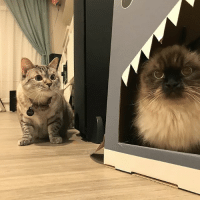 Hello, Memes, and Shark: Mommy, someone is in my shark house!! @purrcilla_meow_kitty @white_coffee_cat_ @hello_luna_rose @hello_spencer_dog @stella_and_steve