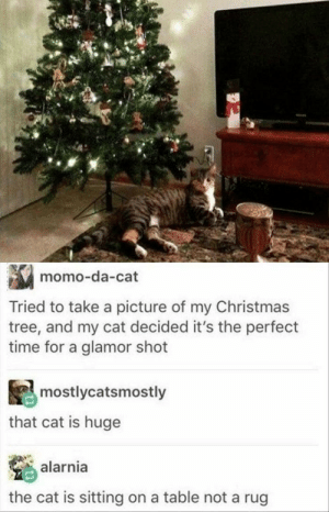 Christmas, Christmas Tree, and Time: momo-da-cat  Tried to take a picture of my Christmas  tree, and my cat decided it's the perfect  time for a glamor shot  mostlycatsmostly  that cat is huge  alarnia  the cat is sitting on a table not a rug its so purr-fect