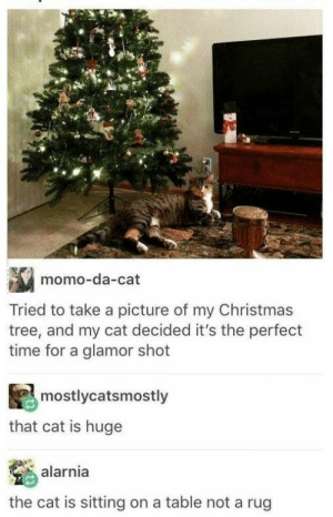 Its a meownster!: momo-da-cat  Tried to take a picture of my Christmas  tree, and my cat decided it's the perfect  time for a glamor shot  mostlycatsmostly  that cat is huge  alarnia  the cat is sitting on a table not a rug Its a meownster!
