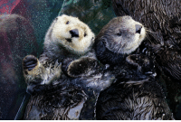 Target, Tumblr, and Blog: montereybayaquarium:  Time to cuddle up with your significant otter. Happy Valentine's Day! #couplegoals