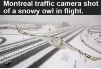 Memes, Traffic, and Camera: Montreal traffic camera shot  of a snowy owl in flight. Make sure to like the Tickld page for more!