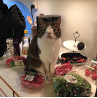 """Cats, Instagram, and Memes: Monty Boy net """"I see salad and tomatoes but where are my cat treats?"""" Does your cat also help you unpack your groceries? 😄 LifeWithCats CatHairEverywhere cats_of_instagram mykidhaspaws dailykitten catstagram montyboy"""