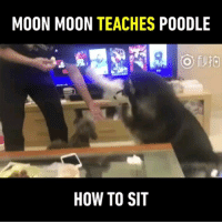 Memes, How To, and Moon: MOON MOON TEACHES POODLE  HOW TO SIT I did not see that coming 🐶 Follow @9gagcute - - 📷王白菜 - - alaskanmalamute poodle eating