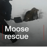 Head, Memes, and Animal: Moose  escue This poor moose got stuck up to its neck in snow in Canada. Thankfully some snowmobilers came to the rescue after they spotted its head sticking out of the white stuff. They used shovels to free the animal which didn't appear to be injured despite its ordeal. moose rescue snow newfoundland canada bbcnews