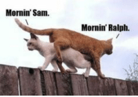 Cats, Climbing, and Funny: Mornin' Sam.  Mornin' Ralph. Cats love to roam around their neighborhood and this often means climbing on fences. Here are some memes of cats sitting on fences. # cats # fences # funny cats # cat memes