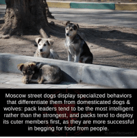Food, Memes, and Wolves: Moscow street dogs display specialized behaviors  that differentiate them from domesticated dogs &  wolves: pack leaders tend to be the most intelligent  rather than the strongest, and packs tend to deploy  its cuter members first, as they are more successful  in begging for food from people.  fb.com/factsweird