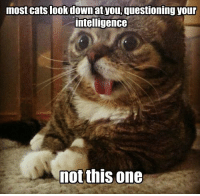 funny cat meme: most cats look down at you, questioning your  intelligence  not this one funny cat meme