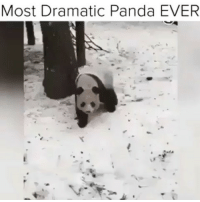 Funny, Queen, and Panda: Most Dramatic Panda EVER Tag a drama queen