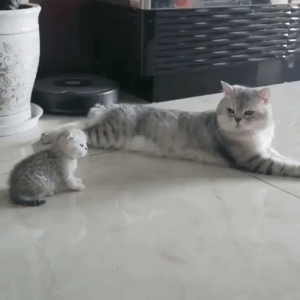 Mother Cat tries to resist extreme cuteness: Mother Cat tries to resist extreme cuteness