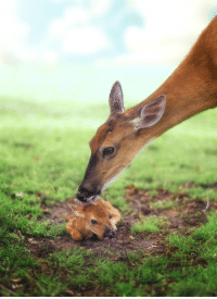 Mother deer are very psychologically abusive to their fawns and will often lick them to make them constantly afraid they are about to be eaten.: Mother deer are very psychologically abusive to their fawns and will often lick them to make them constantly afraid they are about to be eaten.