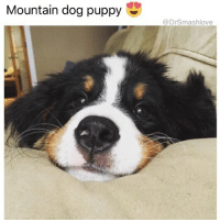 This doggo's angsty, forlorn grin full of heartbreak but also realization that it's all a joke anyway is me as FUCK DontTakeShitTooSerious ItsBadForYourHealth 🤗😂😂 (@1foxybitch): Mountain dog puppy  @DrSmashlove This doggo's angsty, forlorn grin full of heartbreak but also realization that it's all a joke anyway is me as FUCK DontTakeShitTooSerious ItsBadForYourHealth 🤗😂😂 (@1foxybitch)