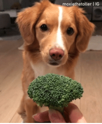 9gag, Memes, and 🤖: moxiethetoller | IG @MoxietheToller loves broccoli. - burrito toller dogtraining 9gag