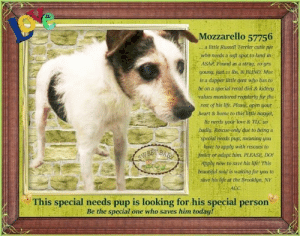 Animals, Beautiful, and Children: Mozzarello 57756  .. a little Russel Terrier cutie pie  who needs a soft spot to land in  ASAP Found as a stray, 1o yrs  young, justa t lbs, &JìİND. Moz-1  is a dapper little gent who has to  be on a special renal diet & kidney  valties monitored regtularty for the  rest of his life. Please open your  heart& home to this little nugget,  he needs your love & TIC so  badly. Rescuec only due to being a  special needs pup, meaning you  have to apply with rescues to  joster or adopt him. PLEASE DO!  Apply now to save his lifet This  beautiful soul is waiting for you to  sive his ije at the Brooktn, NY  This special needs pup is looking for his special person  Be the special one who saves him today! **FOSTER or ADOPTER NEEDED ASAP** This special needs pup is looking for his special person <3 Mozzarello 57756... a little Russell Terrier cutie pie who needs a soft spot to land in ASAP. Found as a stray, 10 yrs young, just 11 lbs, & BLIND. Moz is a dapper little gent who has to be on a special renal diet & kidney values monitored regularly for the rest of his life. Please, open your heart & home to this little nugget, he needs your love & TLC so badly. Rescue-only due to being a special needs pup, meaning you have to apply with rescues to foster or adopt him. PLEASE, DO! Apply now to save his life! This beautiful soul is waiting for you to save his life at the Brooklyn, NY ACC.  ✔Pledge✔Tag✔Share✔FOSTER✔ADOPT✔Save his life!  **************************************** To FOSTER or ADOPT this little nugget,  SPEAK UP NOW  &  APPLY with rescues  OR  message Must Love Dogs - Saving NYC Dogs for assistance immediately! **************************************  The general rule is to foster you have to be within 4 hours of the NYC ACC approved New Hope partner rescues you are applying with and to adopt you will have to be in the general NE US area; NY, NJ, CT, PA, DC, MD, DE, NH, RI, MA, VT & ME (some rescues will transport to VA).  ******************