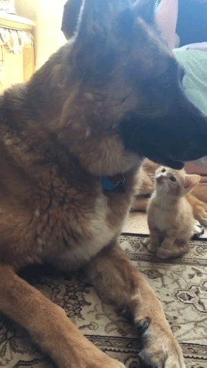 mr-foxsidee: frozenmusings:  everythingfox: My god he just demolished that cat IS THIS PIXIE AND BRUTUS.  : mr-foxsidee: frozenmusings:  everythingfox: My god he just demolished that cat IS THIS PIXIE AND BRUTUS.