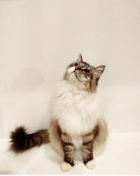 Christmas, Ikea, and Glamour Shots: Mr. Mittens wanted to take some glamour shots for his Christmas card. It turns out that Ikea makes a great photo booth/kitchen cabinet
