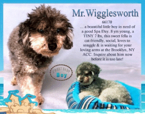 Animals, Beautiful, and Desperate: Mr.Wigglesworth  66170  .a beautiful little boy in need of  good Spa Day. 8 yrs young, a  TINY 7 lbs, this sweet fella is  cat-friendly, social, loves to  snuggle & is waiting for your  loving arms at the Brooklyn, NY  ACC. Inquire about him now  before it is too late!  a  WBET BABY  Boy **FOSTER or ADOPTER NEEDED ASAP** Mr.Wigglesworth 66170 ... a beautiful little boy in need of  a good Spa Day. 8 yrs young, a TINY 7 lbs, this sweet fella is cat-friendly, social, loves to snuggle & is waiting for your loving arms at the Brooklyn, NY ACC. Inquire about him now before it is too late!  ✔Pledge✔Tag✔Share✔FOSTER✔ADOPT✔Save a life!  Mr.Wigglesworth 66170 Small Mixed Breed Sex male Age 8 yrs (approx.) - 7 lbs  My health has been checked.  My vaccinations are up to date. My worming is up to date.  I have been micro-chipped.   I am waiting for you at the Brooklyn, NY ACC. Please, Please, Please, save me!  Found Location Sutphin Boulvard & Jamaica Avenue  walking in parking lot JAMAICA, 11435 Date Found 6/16/2019  **************************************** *** TO FOSTER OR ADOPT ***   If you would like to adopt a NYC ACC dog, and can get to the shelter in person to complete the adoption process, you can contact the shelter directly. We have provided the Brooklyn, Staten Island and Manhattan information below. Adoption hours at these facilities is Noon – 8:00 p.m. (6:30 on weekends)  If you CANNOT get to the shelter in person and you want to FOSTER OR ADOPT a NYC ACC Dog, you can PRIVATE MESSAGE our Must Love Dogs - Saving NYC Dogs page for assistance. PLEASE NOTE: You MUST live in NY, NJ, PA, CT, RI, DE, MD, MA, NH, VT, ME or Northern VA. You will need to fill out applications with a New Hope Rescue Partner to foster or adopt a NYC ACC dog. Transport is available if you live within the prescribed range of states.  Shelter contact information: Phone number (212) 788-4000 Email adopt@nycacc.org  Shelter Addresses: Brooklyn Shelter: 2336 Linden Boulevard Brooklyn, NY 11208 Manhattan Shelter: 326 East 110 St. New York, NY 10029 Staten Island Shelter: 3139 Veterans Road West Staten Island, NY 10309 **************************************  NOTE:  WE HAVE NO OTHER INFORMATION THAN WHAT IS LISTED WITH THIS FLYER.  ************************************** RE: ACC site Just because a dog is not on the ACC site does NOT necessarily mean safe. There are many reasons for this like a hold or an eval has not been conducted yet or the dog is rescue-only... the list goes on... Please, do share & apply to foster/adopt these pups as well until their thread is updated with their most current status. TY! ****************************************** About Must Love Dogs - Saving NYC Dogs: We are a group of advocates (NOT a shelter NOR a rescue group) dedicated to finding loving homes for NYC dogs in desperate need. ALL the dogs on our site need Rescue, Fosters, or Adopters & that ASAP as they are in NYC high-kill shelters. If you cannot foster or adopt, please share them far & wide. Thank you for caring!! <3 ****************************************** RESCUES: * Indicates New Hope Rescue partner is accepting applications for fosters and/or adopters. http://www.nycacc.org/get-involved/new-hope/nhpartners ****************************************** ++++ ++++ https://nycaccpets.shelterbuddy.com/animal/animalDetails.asp?s=found&searchTypeId=2&animalType=3%2C16&datelostfoundmonth=9&datelostfoundday=5&datelostfoundyear=2017&tpage=2&submitbtn=Find+Animals&pagesize=16&task=view&searchType=2&animalid=99697 ++++ Beamer Maximillian Carolin Hocker Caro Hocker Poodle Rescue of Vermont Poodle Rescue Connecticut, Inc. Poodle Rescue of New England