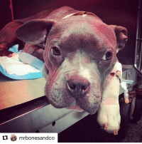 Repost @mrbonesandco with @repostapp ・・・ TATER TOT UPDATE: We are heartbroken to share that early this morning Tater had a serious decline and was rushed back to our emergency animal hospital, @amcny after constant vomiting throughout the night and the inability to pass anything through his colon. We suspected a complete stricture; his colon closing in due to scarring from a combination of his original injury and the suture site healing. An ultrasound confirmed our suspicions. Because a ballooning procedure to open up his colon was forced to happen earlier than planned he will have to undergo multiple smaller procedures to gradually open his colon and lessen the risk of rupture. ________________________________ Dr. Kendall Wilson (Internal Medicine) is overseeing his current care and we are happy to share that two hours ago our baby seal completed his first successful first procedure. His colon was closed so tightly that passing a wire through it was challenging, but she was gradually able to dilate him to 12mm. Tater Tot will remain hospitalized over the course of the next few days as the goal is to get him to 20mm. _______________________________ While Tater Tot has captivated so many people, we must emphasize that he is the product of cruel, selfish and irresponsible cross breeding, and likely inbreeding, without regard for the consequences on the innocent animals produced. He is unique and adorable, but it's important to remember his physical traits come with a price. Please discourage anyone you know who is thinking about or currently breeding their dogs. While Tater Tot's injuries are not due to his breeding, his wonky little body that can be challenging for him, coupled with what appear to be cognitive impairments, are. We love this little dog exactly as the gift that he is but we sincerely hope we never come across another pup like him. Please keep our little fellow in your thoughts. As long as he is not suffering needlessly and without hope, we will continue to fight hard for him and do everything we can for him. AdoptTaterTotMBC RescueistheNewBlack OneLuckyPup: mrbondesandco Repost @mrbonesandco with @repostapp ・・・ TATER TOT UPDATE: We are heartbroken to share that early this morning Tater had a serious decline and was rushed back to our emergency animal hospital, @amcny after constant vomiting throughout the night and the inability to pass anything through his colon. We suspected a complete stricture; his colon closing in due to scarring from a combination of his original injury and the suture site healing. An ultrasound confirmed our suspicions. Because a ballooning procedure to open up his colon was forced to happen earlier than planned he will have to undergo multiple smaller procedures to gradually open his colon and lessen the risk of rupture. ________________________________ Dr. Kendall Wilson (Internal Medicine) is overseeing his current care and we are happy to share that two hours ago our baby seal completed his first successful first procedure. His colon was closed so tightly that passing a wire through it was challenging, but she was gradually able to dilate him to 12mm. Tater Tot will remain hospitalized over the course of the next few days as the goal is to get him to 20mm. _______________________________ While Tater Tot has captivated so many people, we must emphasize that he is the product of cruel, selfish and irresponsible cross breeding, and likely inbreeding, without regard for the consequences on the innocent animals produced. He is unique and adorable, but it's important to remember his physical traits come with a price. Please discourage anyone you know who is thinking about or currently breeding their dogs. While Tater Tot's injuries are not due to his breeding, his wonky little body that can be challenging for him, coupled with what appear to be cognitive impairments, are. We love this little dog exactly as the gift that he is but we sincerely hope we never come across another pup like him. Please keep our little fellow in your thoughts. As long as he is not suffering needlessly and without hope, we will continue to fight hard for him and do everything we can for him. AdoptTaterTotMBC RescueistheNewBlack OneLuckyPup