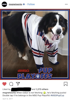 Throwback to when my doggo won us playoff hockey tickets with this gem: msgnetworks Follow  MSG  PUP  PLAYOFFS  IMSG  Liked by  and 1,273 others  he's fetching pucks!  msgnetworks When Oskar is not fetching  Double tap if he belongs in the MSG Pup Playoffs! #MSGPupCup  April 9, 2017 Throwback to when my doggo won us playoff hockey tickets with this gem