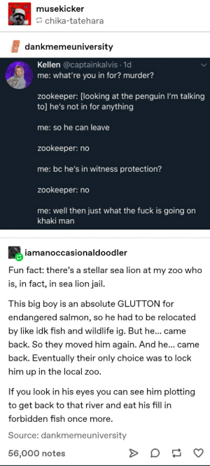 Jail, The Penguin, and Tumblr: musekicker  chika-tatehara  dankmemeuniversity  Kellen @captainkalvis 1d  me: what're you in for? murder?  zookeeper: [looking at the penguin I'm talking  to] he's not in for anything  me: so he can leave  zookeeper: no  me: bc he's in witness protection?  zookeeper: no  me: well then just what the fuck is going on  khaki man  iamanoccasionaldoodler  Fun fact: there's a stellar sea lion at my zoo who  is, in fact, in sea lion jail  This big boy is an absolute GLUTTON for  endangered salmon, so he had to be relocated  by like idk fish and wildlife ig. But he... came  back. So they moved him again. And he... came  back. Eventually their only choice was to lock  him up in the local zoo.  If you look in his eyes you can see him plotting  to get back to that river and eat his fhll in  forbidden fish once more  Source: dankmemeuniversity  56,000 notes FREE HIM
