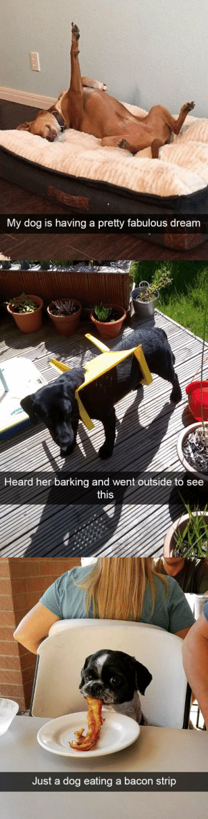 animalsnaps:Dog snaps: Mv doa  is having a pretty fabulou  s dream   Heard  her barking and went outside to see  this   Just a dog eating a bacon strip animalsnaps:Dog snaps