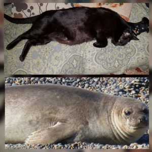 Pregnant, Thought, and Cat: My 1 meter long cat, wich was recently thought to be a pregnant one. He's male.