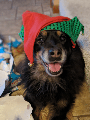 My 11-year-old Australian Shepherd Rottweiler Mix on Christmas. She doesn't know how good she is.: My 11-year-old Australian Shepherd Rottweiler Mix on Christmas. She doesn't know how good she is.