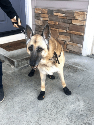 My 11 year old pup loves to go on walks, but he started dragging his hind paws causing minor injury to his nails. So we decided to buy him some new kicks to protect his pawpers.: My 11 year old pup loves to go on walks, but he started dragging his hind paws causing minor injury to his nails. So we decided to buy him some new kicks to protect his pawpers.