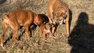 My 2 new puppies meeting my older dog today. The older one is Pax (9 years old) Pink collar is Nyx (5 months old) and the lil chonker in the middle is Beyla (8 weeks old): My 2 new puppies meeting my older dog today. The older one is Pax (9 years old) Pink collar is Nyx (5 months old) and the lil chonker in the middle is Beyla (8 weeks old)