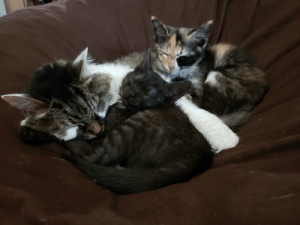 Girls, Molly, and Kittens: My 8 year old cat Molly snuggling with our two foster kittens. All girls. 😍