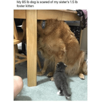 Memes, Ted, and Hilarious: My 85 lb dog is scared of my sister's 1.5 lb  foster kitten @hilarious.ted posts the cutest memes ❤️