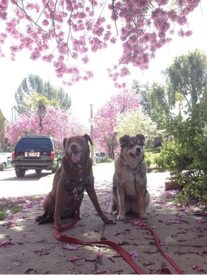 My aunt's dogs sitting under a pink tree.: My aunt's dogs sitting under a pink tree.