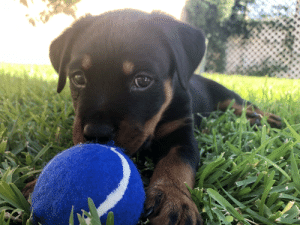 My aunt just got a new Rottweiler puppy!: My aunt just got a new Rottweiler puppy!