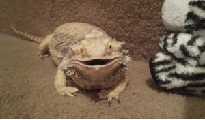 My Beardie Spike.He likes to smile for the camera!: My Beardie Spike.He likes to smile for the camera!