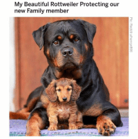 Beautiful, Family, and Memes: My Beautiful Rottweiler Protecting our  new Family member (@hilarious.ted) posts the most adorable fur babies on the Gram.