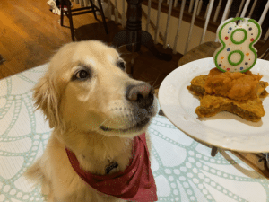 My best boye turned 8 the other day and he was excited to his pumpkin cookie: My best boye turned 8 the other day and he was excited to his pumpkin cookie