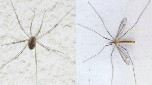 My biology teacher told the class that harvestmen (left) and crane flies (right) are the same thing and got mad when I told him they were not???? I hate school??: My biology teacher told the class that harvestmen (left) and crane flies (right) are the same thing and got mad when I told him they were not???? I hate school??