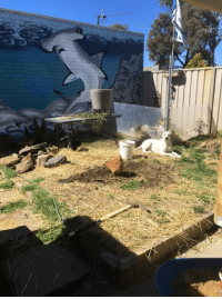 My boy sharing the yard with the chickens! Who else let's there pets roam and share!: My boy sharing the yard with the chickens! Who else let's there pets roam and share!