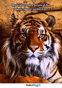 Memes, London, and Tiger: My brother took a picture of this  majestic tiger at London Zoo  Talent  Explore Isn't he beautiful? 😍